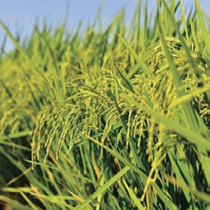 Kingdao Agrochem: Making A Difference In The Micronutrients Industry